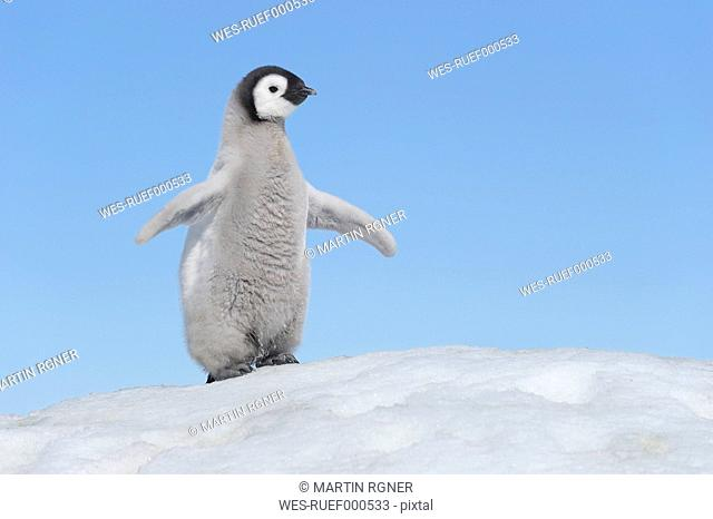 Antarctica, Antarctic Peninsula, Emperor penguin chick on snow hill island