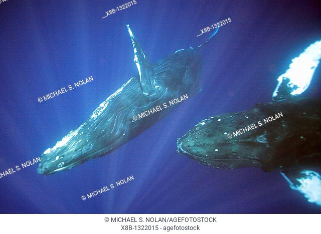 Curious sub-adult humpback whales Megaptera novaeangliae approach the boat underwater in the AuAu Channel separating Maui from Lanai, Hawaii  Pacific Ocean