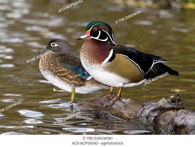 Wood Duck, Canada