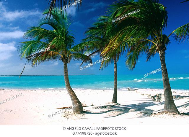 Palm trees. Bahamas Islands. Caribbean