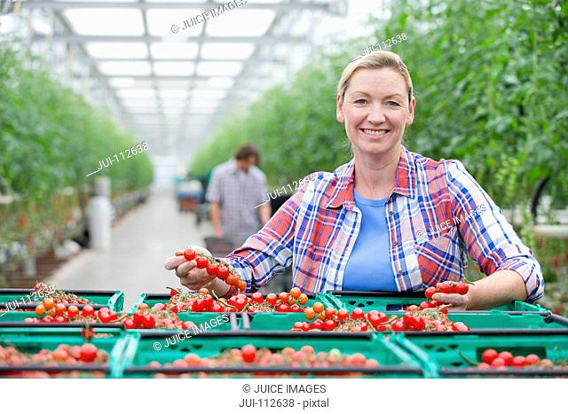 Portrait smiling grower inspecting ripe red vine tomatoes in crates in greenhouse