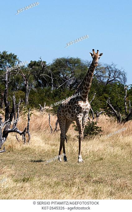 Southern giraffe (Giraffa camelopardalis), Khwai Concession, Okavango Delta, Botswana