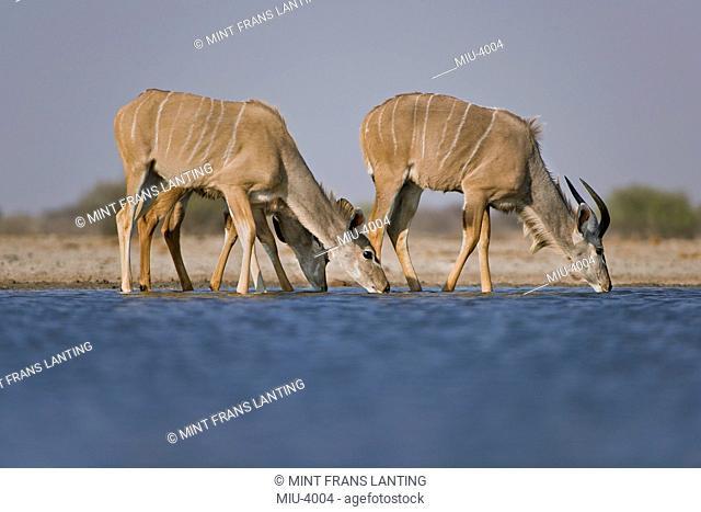 Greater kudus, Tragelaphus strepsiceros, drinking at waterhole, in Etosha National Park