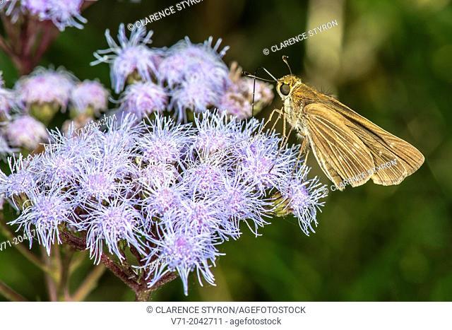 Broad-winged Skipper Butterfly (Poanes viator) Feeding on Ageratum (Eupatorium coelestinum)
