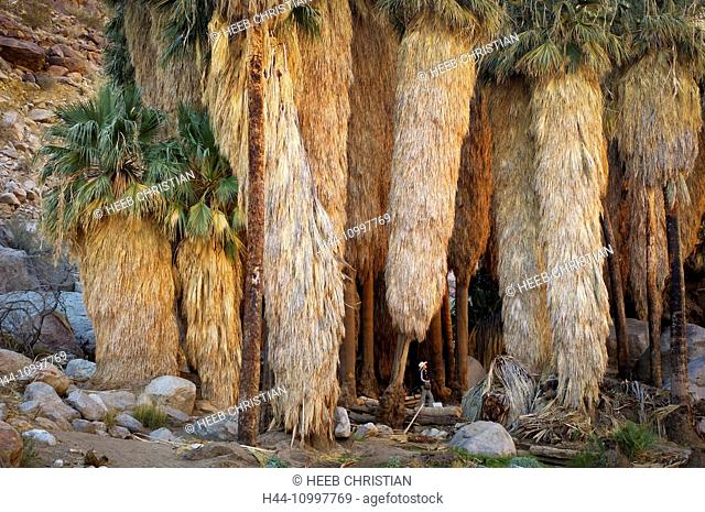 Palm Trees at Borrego, Palm Canyon, Anza Borrego, Desert State Park, California, United States of America