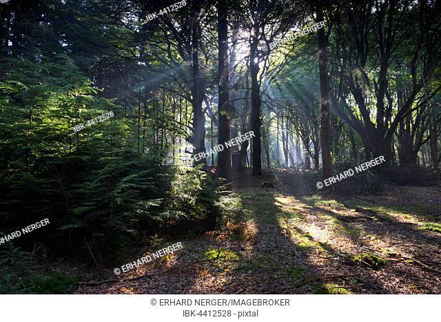 Sunbeams shining through tree trunks in forest, Emsland, Lower Saxony, Germany