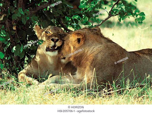 Close-up view of lionesses nuzzling
