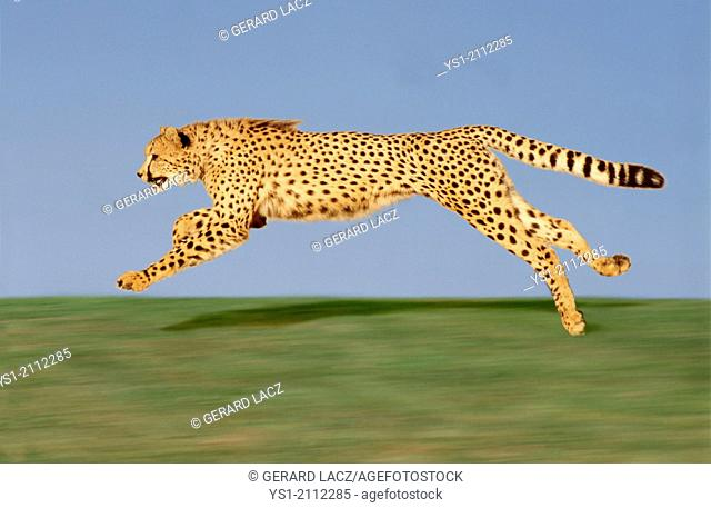 Cheetah, acinonyx jubatus, Running