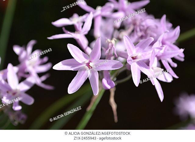 Macro Allium sp. Caracas, Venezuela
