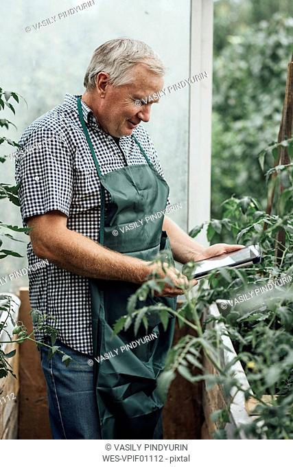 Mature man, gardener in greenhouse using digital tablet