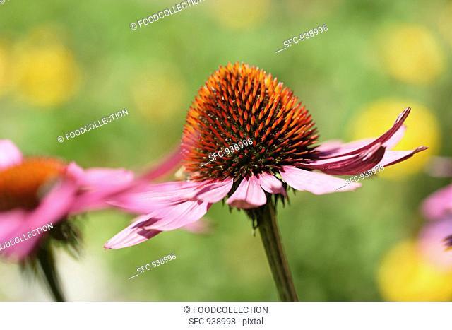 Flowering red echinacea