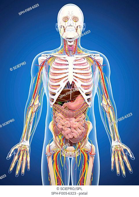 Human anatomy, computer artwork