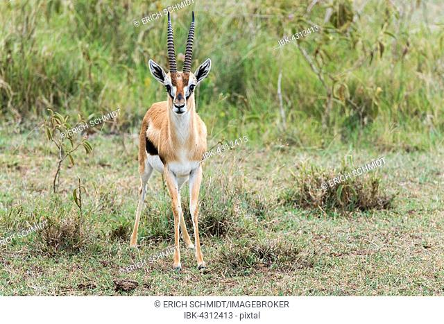 Thomson's gazelle (Eudorcas thomsonii), Lake Nakuru National Park, Kenya