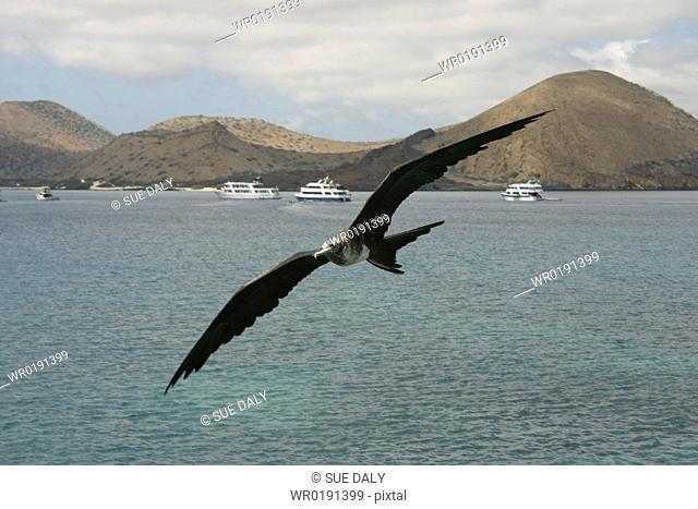 Frigate in flight Galapagos
