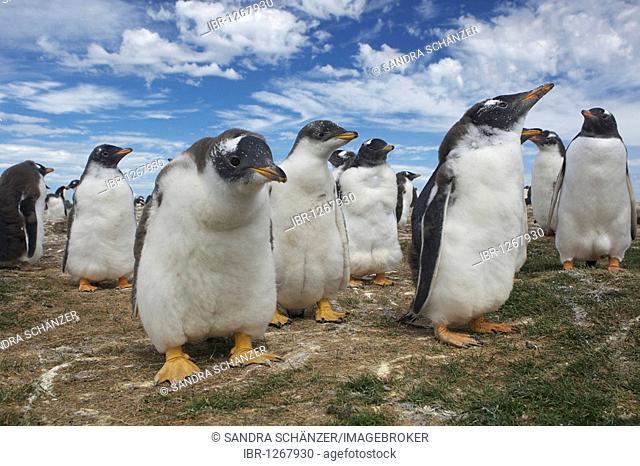 Gentoo penguins (Pygoscelis papua), Bleaker Island, Falkland Islands, South America