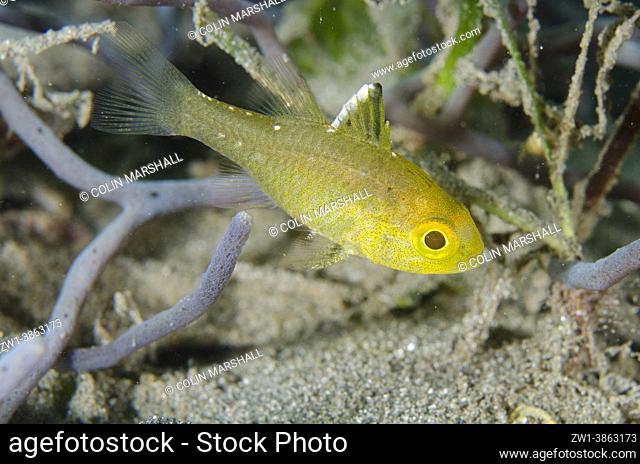 Frostfin Cardinalfish (Ostorhinchus hoevenii), Jetty dive site, Pemuteran, Buleleng Regency, Bali, Indonesia