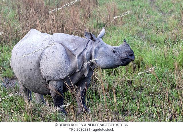 Indian rhinoceros (Rhinoceros unicornis) standing in elephant grass, threatened species, Kaziranga National Park, Assam, India