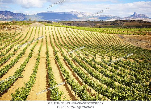 Vineyards  Rioja alavesa wine route  Alava  Basque country  Spain