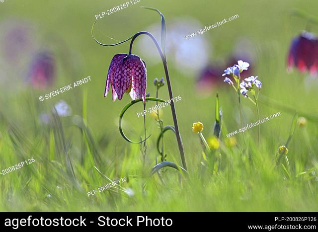 Snake's head fritillary / chequered lily (Fritillaria meleagris) in flower in meadow / grassland in spring