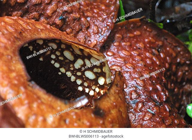 giant flower Rafflesia arnoldii, largest flower of the world, detail, Borneo