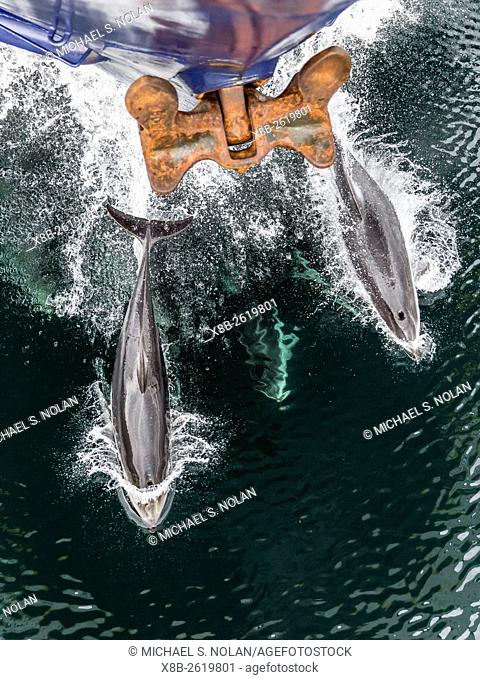 Pacific white-sided dolphins, Lagenorhynchus obliquidens, bow riding the National Geographic Sea Bird, Johnstone Strait, BC, Canada