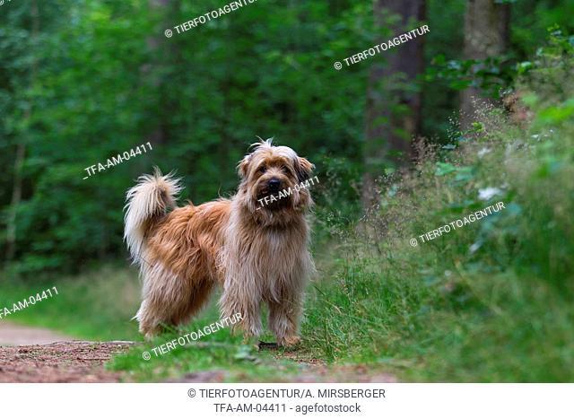 standing Pyrenean Sheepdog