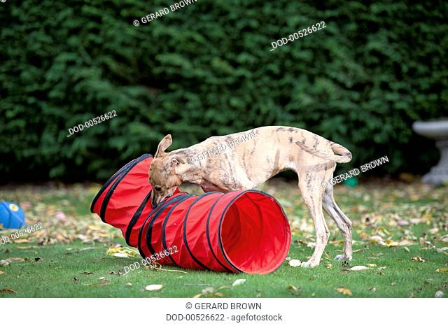 Whippet smelling fabric tunnel
