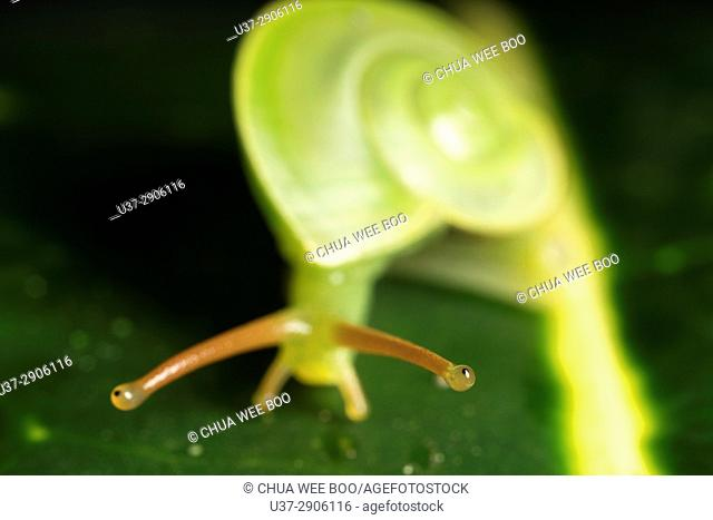This green snail is often seen living on high ground moving from tree's leaves to the other, Stutong Forest Reserve Park, Kuching, Sarawak, Malaysia