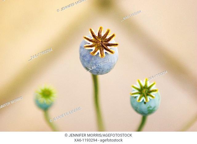 Three poppy seed heads