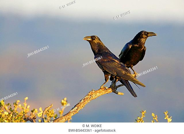 common raven (Corvus corax), pair sits at a dead branch, Spain, Extremadura