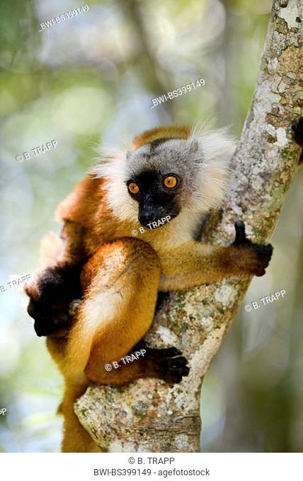 black lemur (Lemur macaco, Petterus macaco), female with pup clims on a tree, Madagascar, Nosy Be, Lokobe Reserva