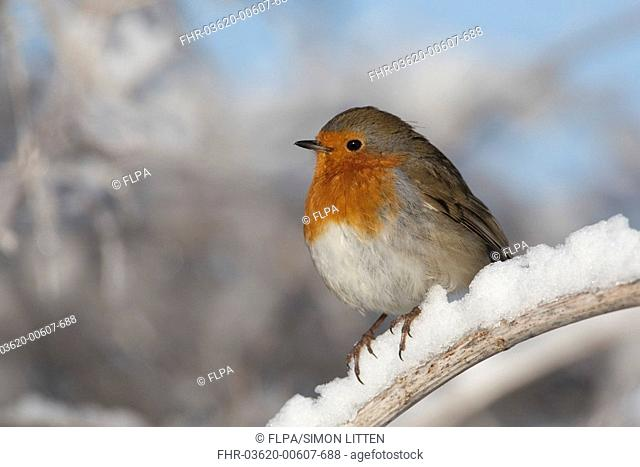 European Robin Erithacus rubecula adult, perched on snow covered stem, England, winter
