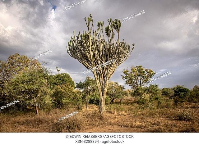 A candelabra tree (Euphorbia ingens) in Lake Nakuru National Park, Kenya