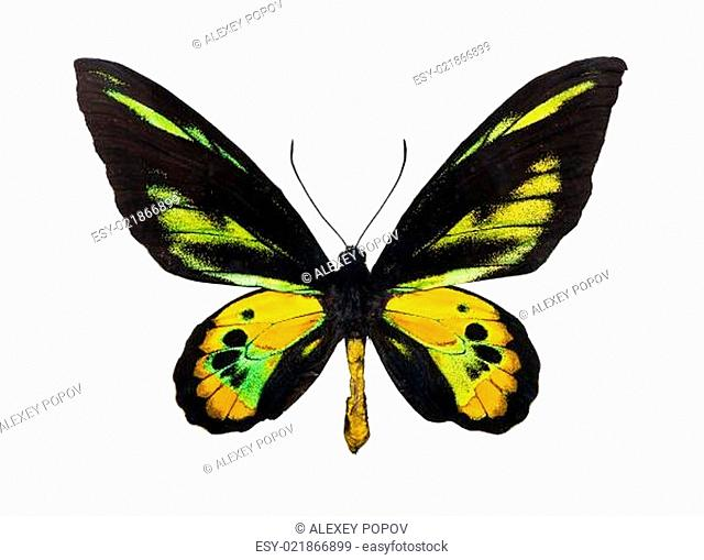 Butterfly Rothschild's Birdwing