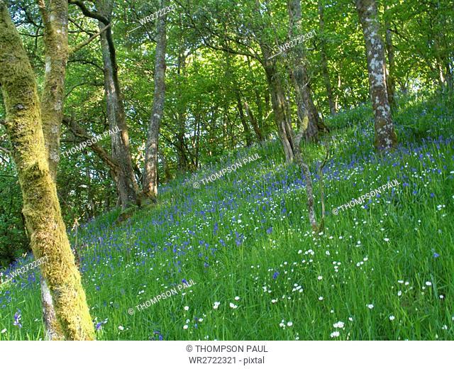 90900318, Bluebell wood, Bala, Gwynedd, North Wale