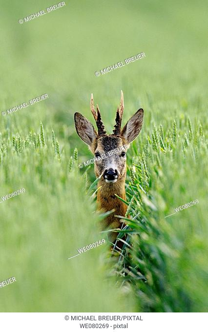 Roe deer, Roe buck in a grain field in summer, Capreolus capreolus, Germany