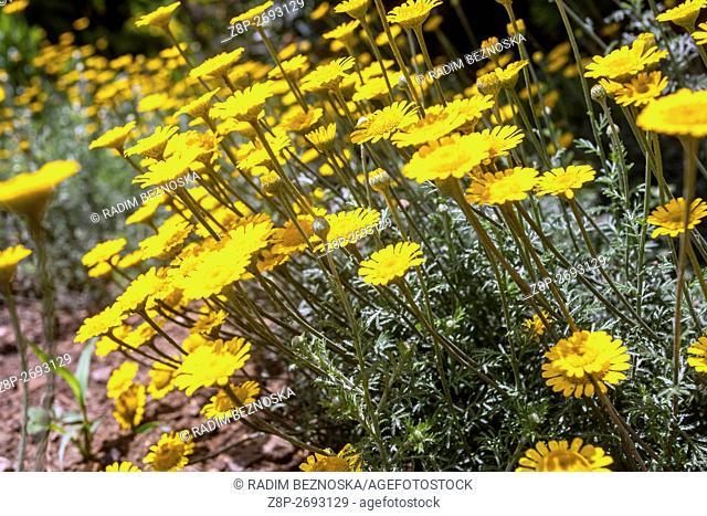 Cota tinctoria - golden marguerite or yellow chamomile
