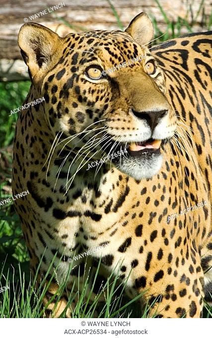 Jaguar Panthera onca, Pantanal, Brazil