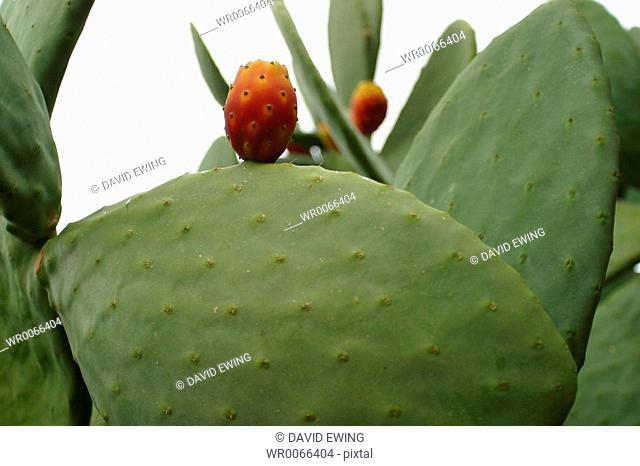 A cactus bears fruit