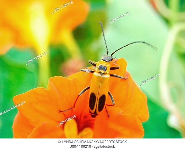Beneficial garden plants and insects - Pennsylvania Leatherwing, Chauliognathus pennsylvanicus, on Nasturtium flower, Tropaeolum majus