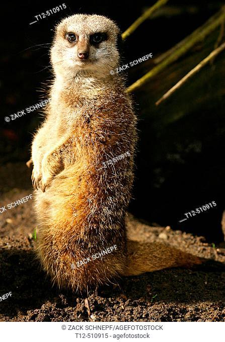 Meerkat, Oregon, Zoo
