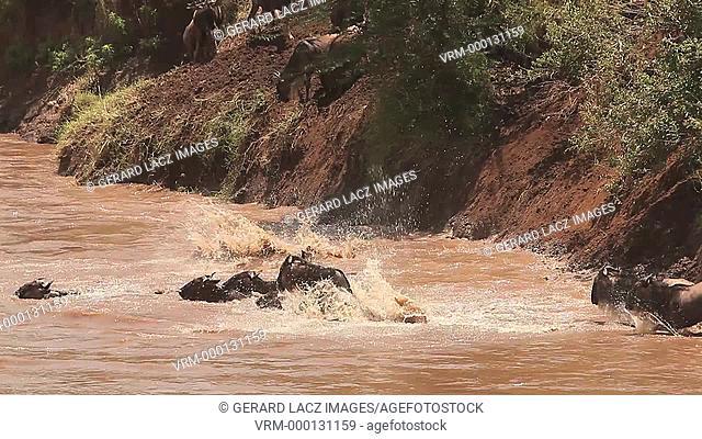 Blue Wildebeest, connochaetes taurinus, Herd Crossing Mara River during Migration, Masai Mara Park in Kenya, Real Time