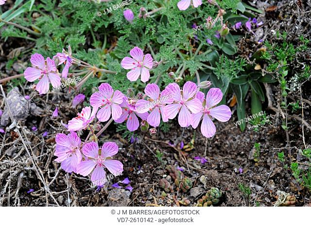 The Paular geranium (Erodium paularense) is an endemic plant that lives in El Paular and Sierra del Guadarrama (Madrid) and some localities of Guadalajara...