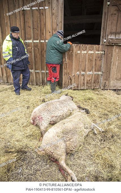 13 April 2019, Saxony, Oberwiesenthal: Torn sheep lie on the pasture of an alpaca farm. Probably three animals were killed in a wolf attack