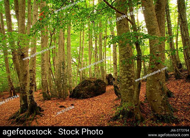 Betato forest in Piedrafita de Jaca. Tena valley. Huesca