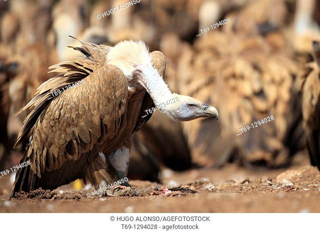 Group of griffon vultures feeding on a sheep