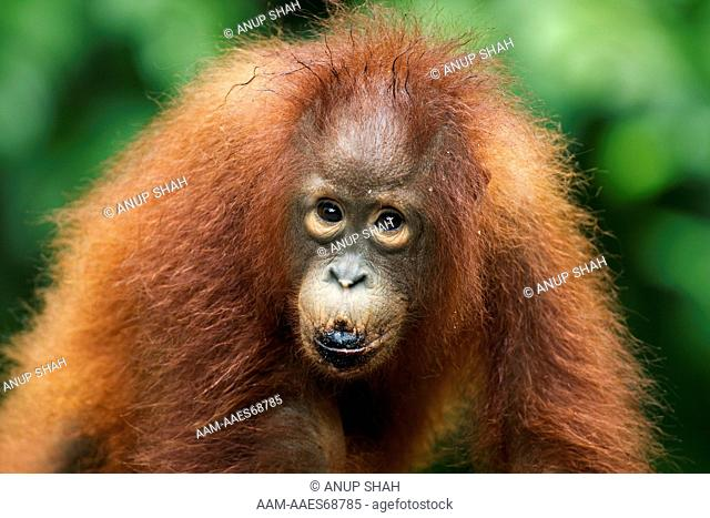 Bornean Orangutan male infant 'Leonardo' aged 4-5 years walking - portrait (Pongo pygmaeus wurmbii). Pondok Tanggui, Tanjung Puting National Park