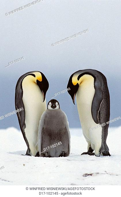 Two emperor penguin (Aptenodytes forsteri) with a half-grown chick near Cape Norwegia, Antarctica