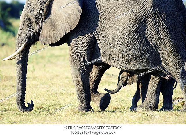 African elephant mother and young calf (Loxodonta africana), Duba Plains, Okavango Delta, Botswana, Southern Africa