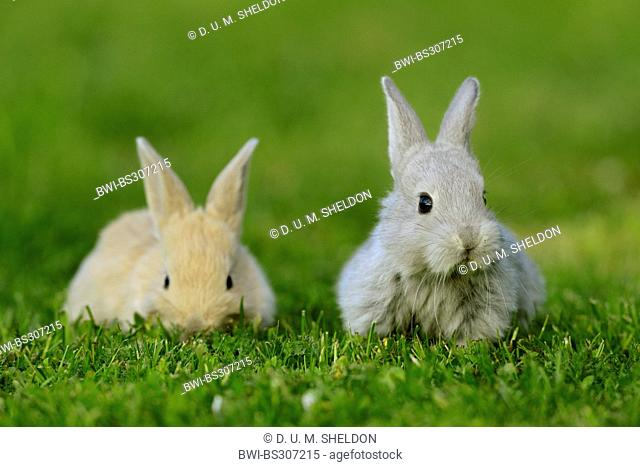 domestic rabbit (Oryctolagus cuniculus f. domestica), beige bunny with grey bunny in a meadow